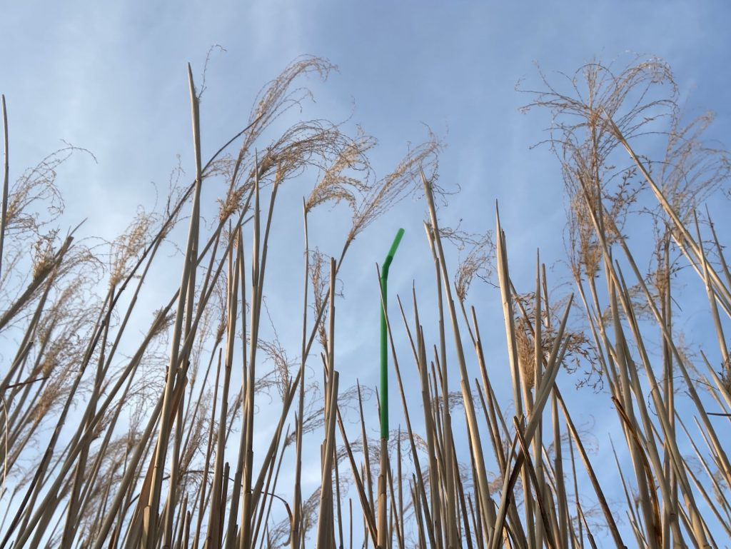 Green straw amongst field of tall crops, against a blue sky
